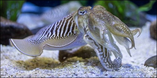 A quelle classe de mollusques la seiche appartient-elle ?