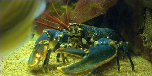 Le homard a des pinces plus fines que l'araignée de mer.