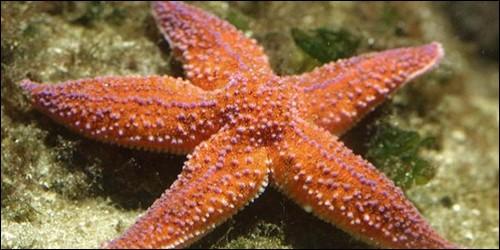 Que ne possède pas l'étoile de mer ?
