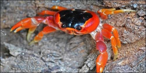 Combien de paires de pattes a le crabe ?