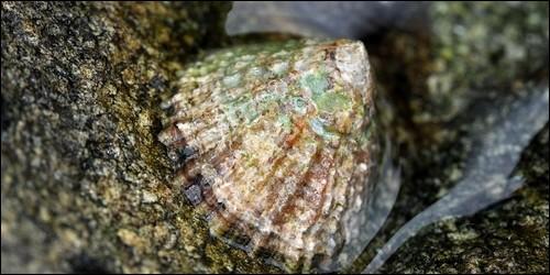 Quel est le surnom du coquillage appelé patelle ?