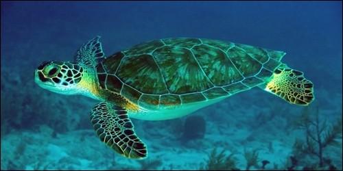 Où naissent les tortues de mer ?