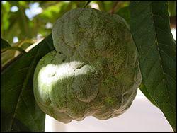 De quel arbre est issue la pomme Cannelle ?