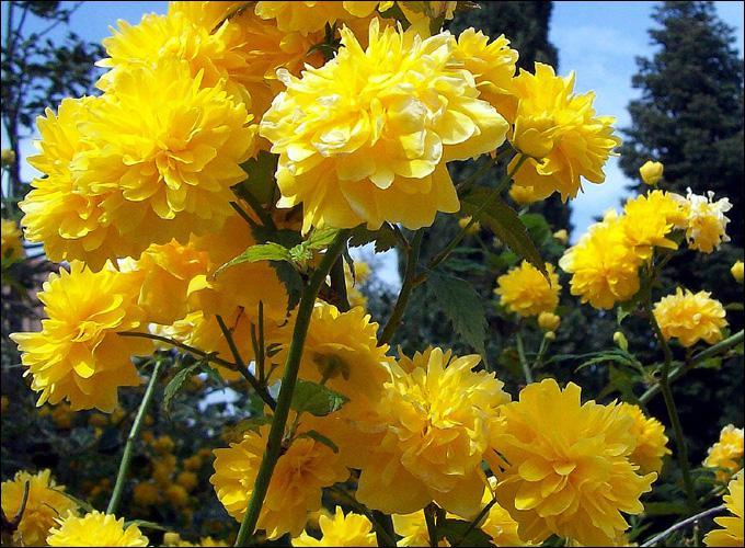 Jolies fleurs jaunes en pompons fleurissant au début du printemps, nous sommes...