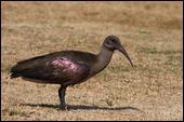 Comment s'appelle cet ibis ?
