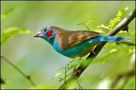 Comment s'appelle ce superbe petit oiseau très répandu en Afrique centrale, du Sénégal à la Mer Rouge ?