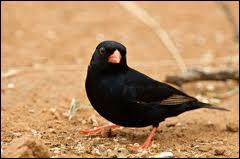 D'un noir bleuté en période nuptiale, cet oiseau vit en Afrique Occidentale :