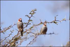 Quel est cet oiseau africain vivant principalement en Angola ?