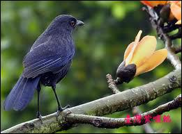Quel est cette espèce d'Amérique du Sud ?