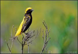 Encore un oiseau d'Afrique, celui-ci c'est un ...