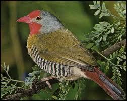 Quel est cet oiseau répandu dans les savanes africaines ?