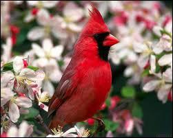 Autre oiseau coloré d'Amérique du nord ...