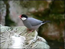 Quel est cet oiseau originaire de Java et des îles avoisinantes ?