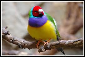 Un oiseau d'origine australienne portant le nom d'un ornithologue célèbre ...