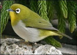 On le rencontre dans toute l'Inde et à Ceylan : l'oiseau à lunettes ou ... .