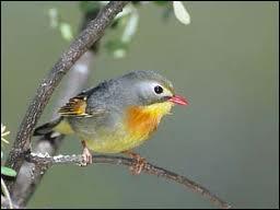 Comme son nom ne l'indique pas, cet oiseau vit en Himalaya jusqu'en Chine méridionale ...