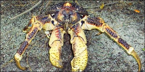 Comment s'appelle le plus grand crustacé terrestre ?