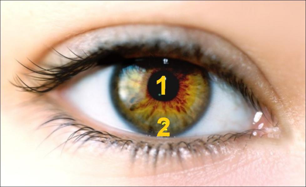 La vue : l'iris est en :