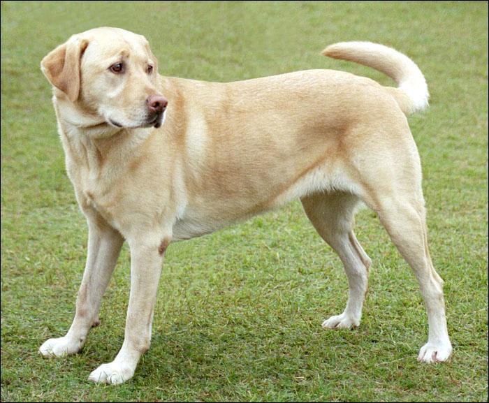 Ce chien est un :