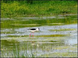 Quel est cet oiseau typique du marais ?
