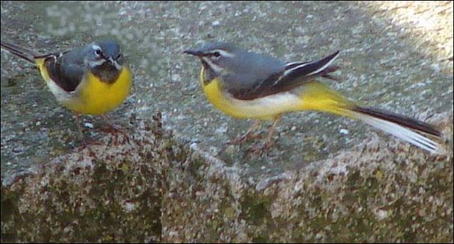 Quizz sur les oiseaux quiz oiseaux for Oiseau ventre jaune