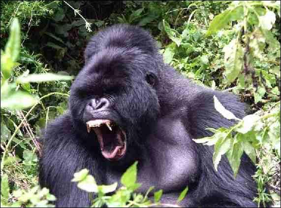Ce singe peut soulever son propre poids à bout de bras,soit: