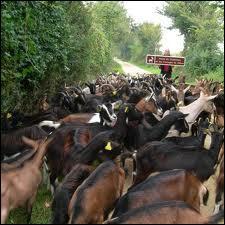 Premier département français producteur de lait de chèvre , on y fabrique un fromage typique , le