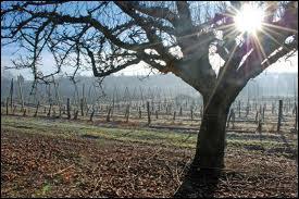 En Gâtine; le verger est roi, et la variété typique de la région est ...