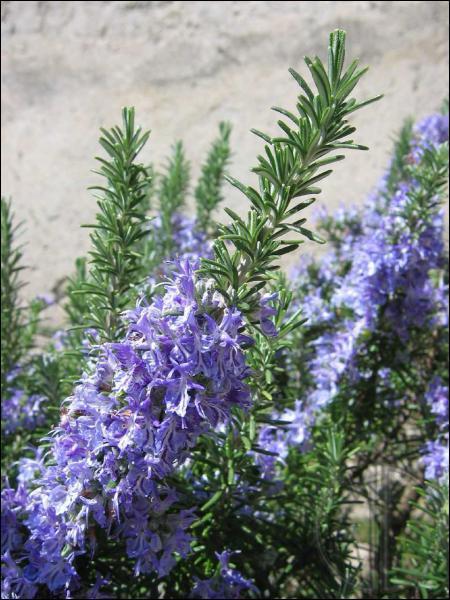 Je suis une plante aromatique. Qui suis-je ?
