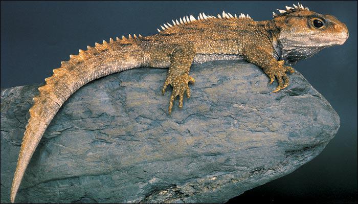 Je suis considéré comme un fossile vivant (ou espèce panchronique) :