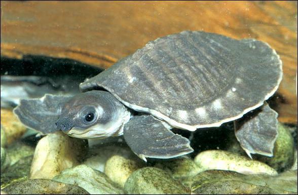 Je suis une tortue d'eau douce au nez curieux :