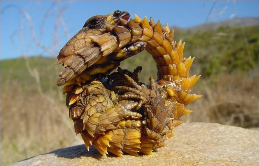 Pour me protéger des prédateurs, je les dissuade de me manger en me mordant la queue tel l'ouroboros :