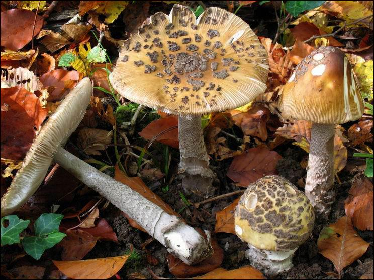Ce champignon s'appelle une... ?