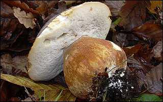 Ce champignon s'appelle un... ?