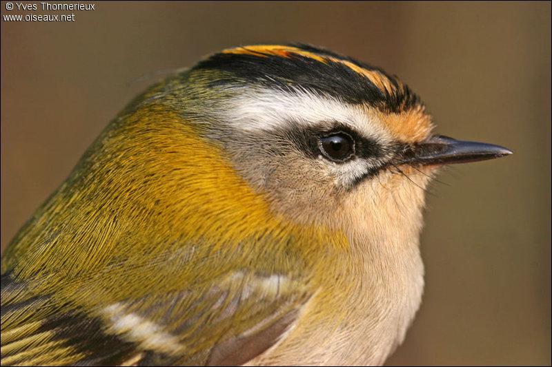 Quizz les oiseaux de france quiz oiseaux for Oiseaux de france