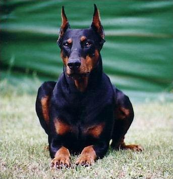 Races de chiens : les molosses