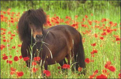 Le poney c'est :