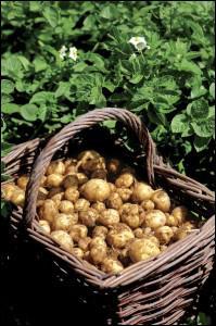 Quelle variété locale de pomme de terre est cultivée sur l'île ?