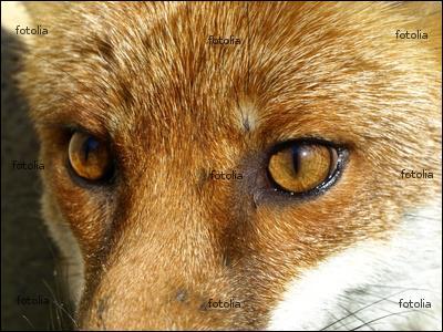 Le renard a une vue médiocre, mais une ouïe exceptionnelle.