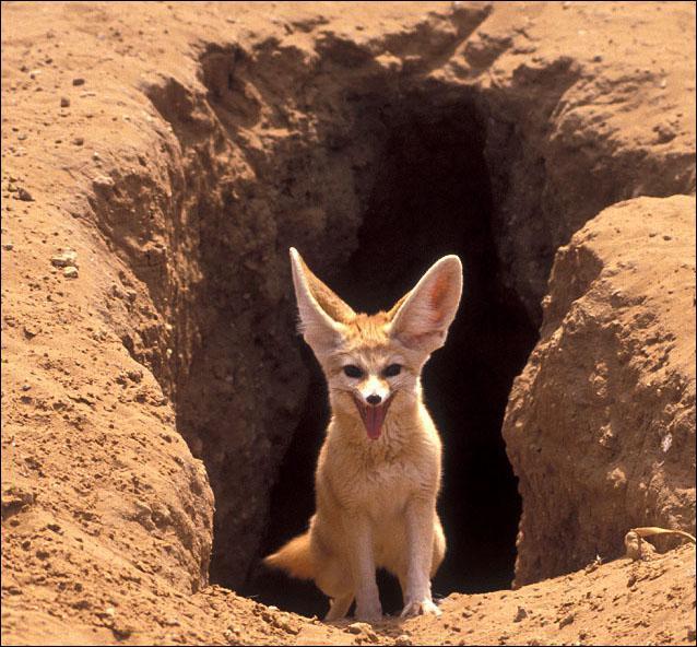 Le fennec est un renard.