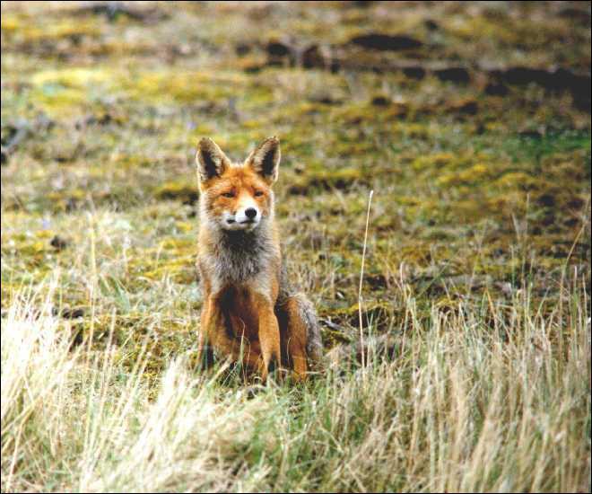 Quel milieu naturel préfère le renard roux ?