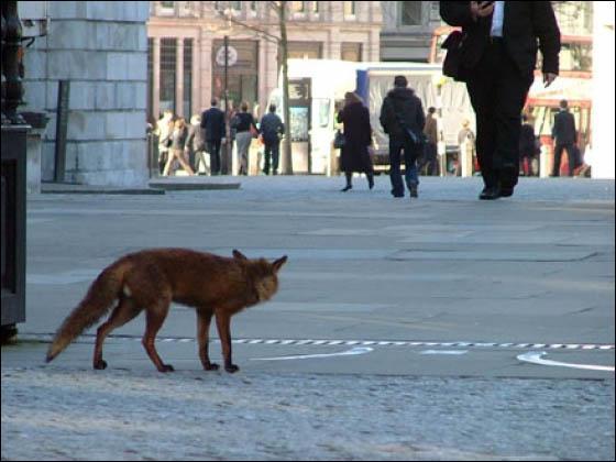 Quels pays ont le plus grand nombre de renards urbains ?