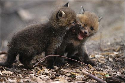 Combien de renardeaux y a-t-il au maximum dans une portée ?