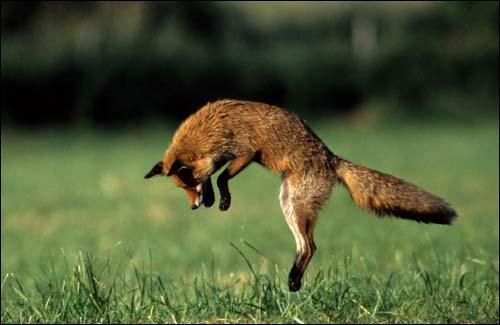 Que fait ce renard ?