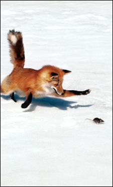 Parmi ces petits mammifères, lesquels sont le repas préféré du renard roux ?