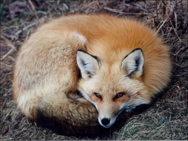 Chez le renard, comment s'appellent les poils qui constituent la couche isolante et que le renard perd au printemps ?