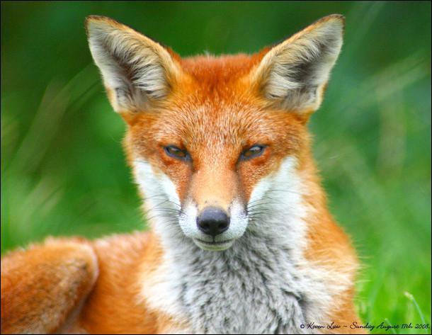 A quelle famille appartient le renard ?