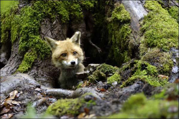 Combien de temps vit en général un renard en liberté ?