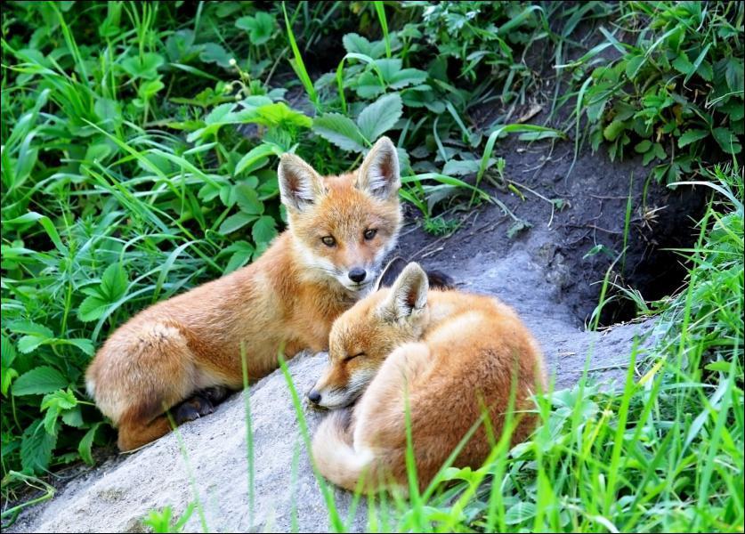 Le renard vit-il en groupe ?