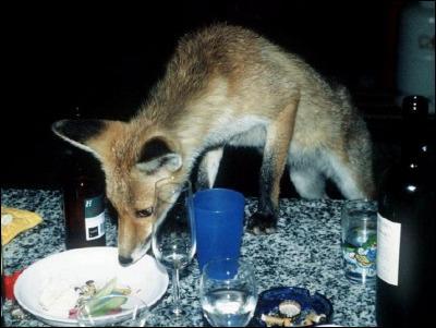 Pourquoi dit-on du renard qu'il est rusé ?
